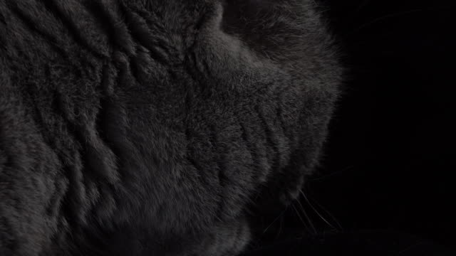 close-up of a british shorthair cat turning its head toward the camera - shorthair cat stock videos and b-roll footage