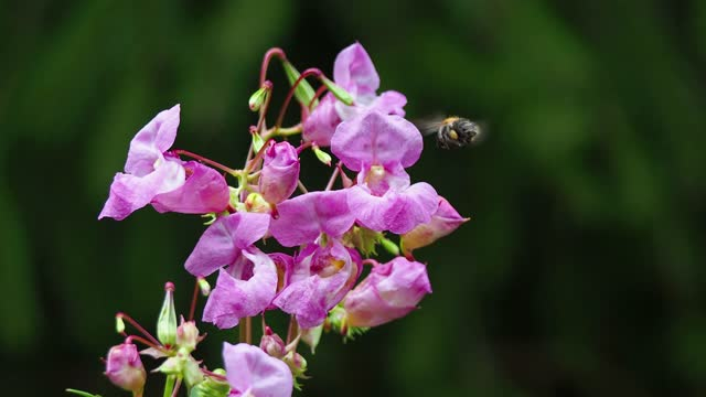 close-up of a bumblebee pollinating pink wild flowers - ståndare bildbanksvideor och videomaterial från bakom kulisserna