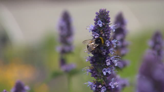 close-up of a bumblebee walking across a lavender plant - nature stock videos & royalty-free footage