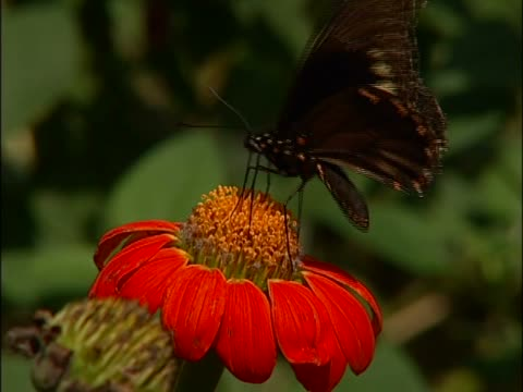 close-up of a butterfly on a flower - staubblatt stock-videos und b-roll-filmmaterial