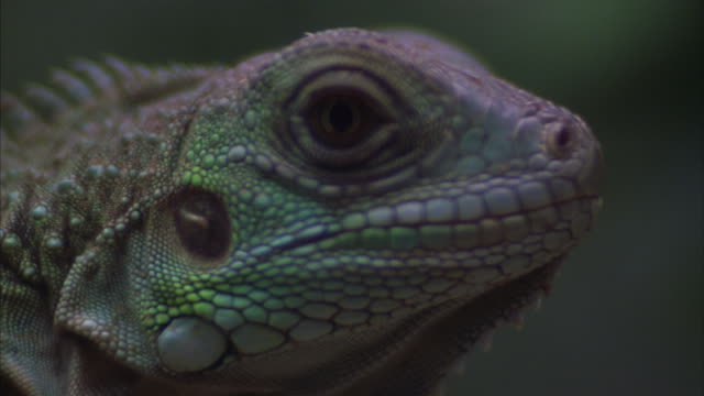 close-up of a colorful iguana's head. - reptile stock videos & royalty-free footage