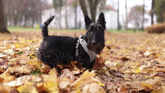 closeup of a cute scottish terrier enjoying the walk. - bridle stock videos & royalty-free footage