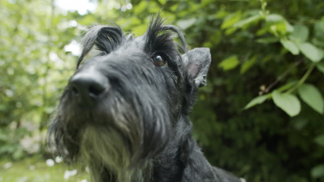 closeup of a cute scottish terrier in the back yard - barking animal sound stock videos & royalty-free footage