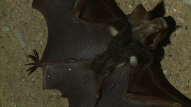 close-up of a fallen bat, gua tempurung  cave, kl - spread wings stock videos & royalty-free footage