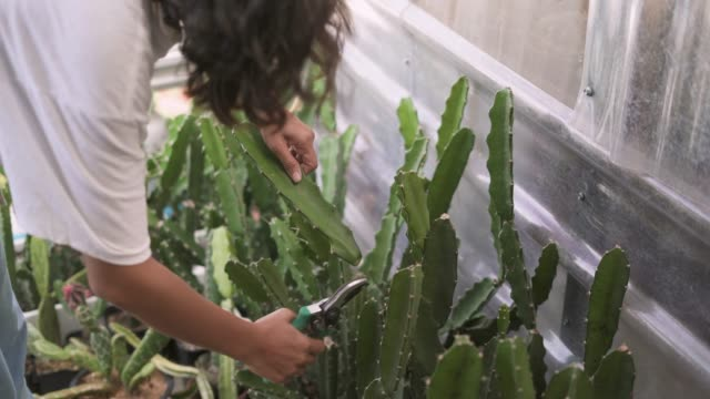 close-up of a female gardener cutting the succulent plant - secateurs stock videos & royalty-free footage