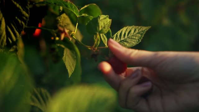 close-up of a female hand that gently snaps off a ripe raspberries from a bush on a sunset background, harvesting raspberries on a plantation, raspberry picker stock video - picking stock videos & royalty-free footage
