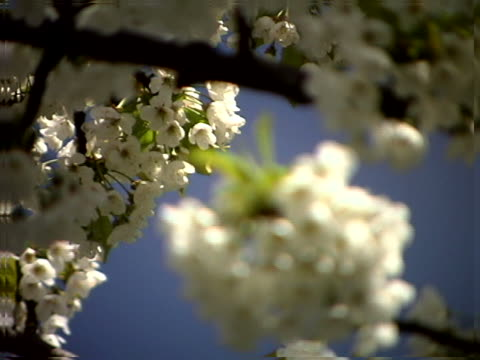 Close-up of a fruit tree blossoms
