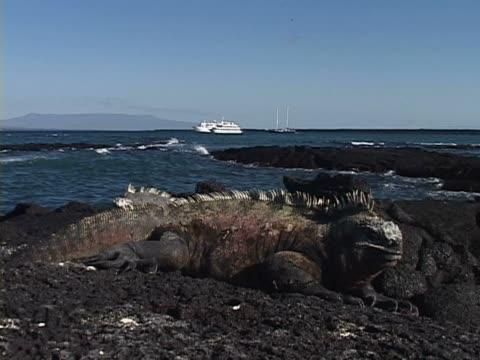 vídeos y material grabado en eventos de stock de close-up of a galapagos land iguana - iguana de los galápagos