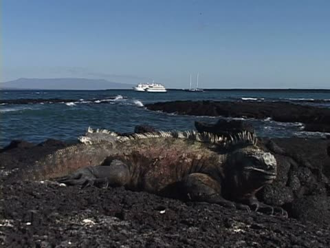 close-up of a galapagos land iguana - galapagos land iguana stock videos & royalty-free footage