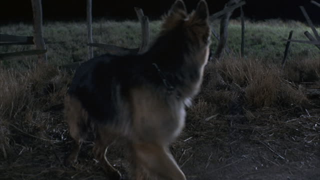 Close-up of a German Shepherd chasing after something in the night.