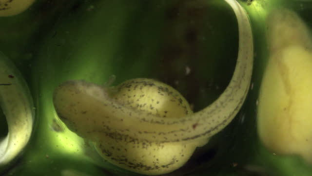 Close-up of a glass frog larva (tadpole) developing in its egg, six days after being laid.