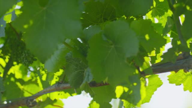 closeup of a grapevine - otago region stock videos & royalty-free footage