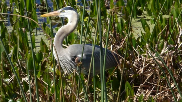 closeup of a great blue heron stalking food in a florida wetland - great blue heron stock videos and b-roll footage