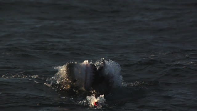 close-up of a great white shark targeting  decoy. - seals stock videos and b-roll footage