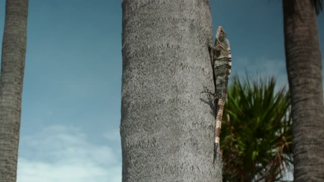 vídeos y material grabado en eventos de stock de close-up of a green iguana moving up a palm tree trunk in slow motion on crandon park beach, miami, florida - iguana