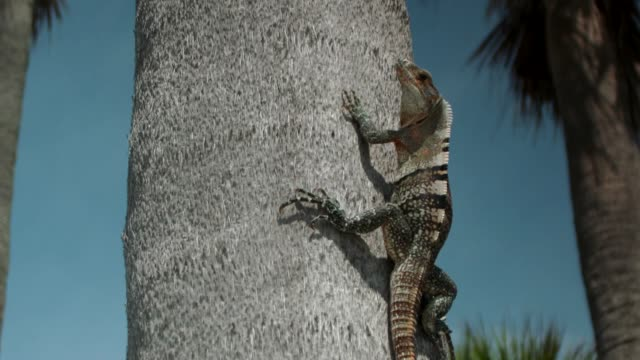 vídeos y material grabado en eventos de stock de close-up of a green iguana on a palm tree trunk on crandon park beach, miami, florida - iguana