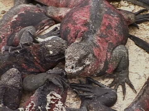 Close-up of a group of marine iguanas on a rock
