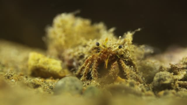 close-up of a hermit crab, emerging from its host shell - hermit crab stock videos & royalty-free footage