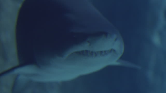 Close-up of a large shark swimming through clear, shimmering water with a rock wall in the background.