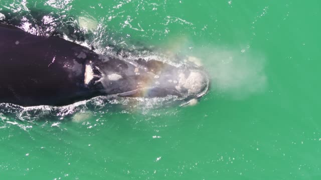 closeup of a large whale - southern right whale stock videos & royalty-free footage