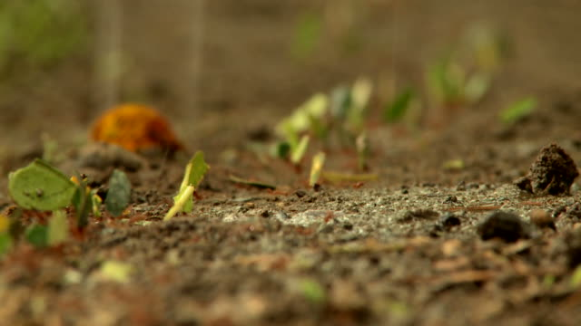 close-up of a line of leafcutter ants carrying leaves in the rain - leaf cutter ant stock videos and b-roll footage