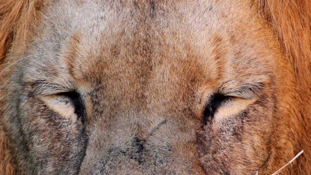 A close-up of a Lion opening his eyes, Hoedspruit, Mpumalanga, South Africa