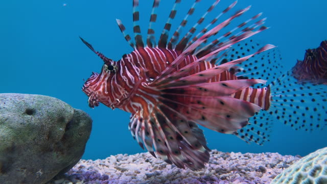 cu close-up of a lionfish aka zebrafish (pterois volitans) - tropical fish stock videos & royalty-free footage