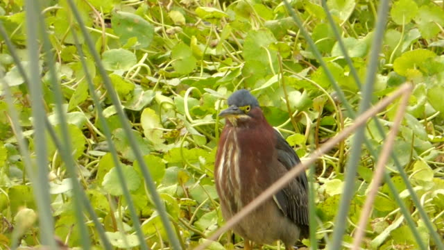 Closeup of A Little Green Heron In Water Vegetation