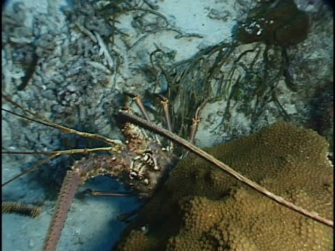 close-up of a lobster on a reef in the sea - lobster stock videos & royalty-free footage