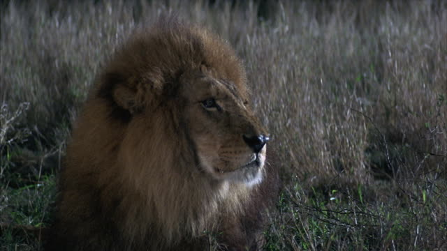 Close-up of a male lion roaring and then turning and trotting away.
