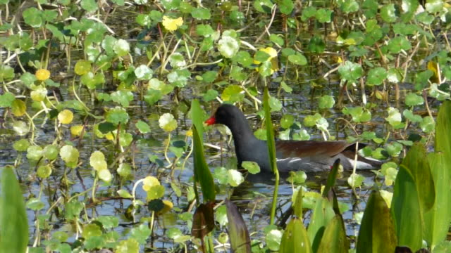 closeup of a moorhen swimming through a wetland - aquatic organism stock videos & royalty-free footage