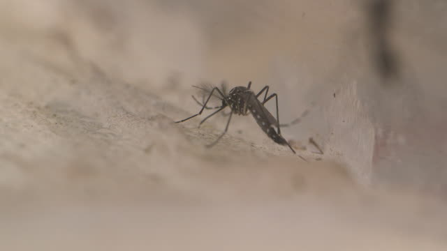 close-up of a mosquito on a synthetic surface in a laboratory, uk. - parasitic stock videos and b-roll footage