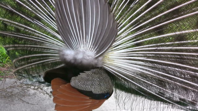 closeup of a peacock displaying his plumes - 2009 stock videos and b-roll footage