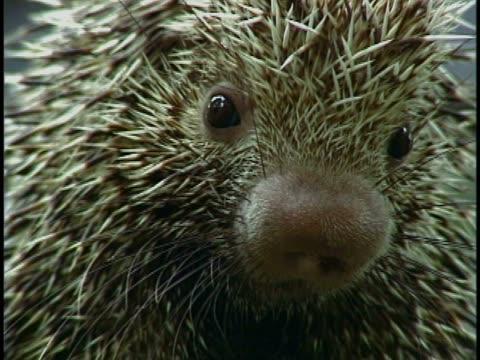 stockvideo's en b-roll-footage met close-up of a porcupine - gepunt