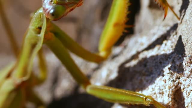 close-up of a praying mantis climbing a wall - tierische nase stock-videos und b-roll-filmmaterial