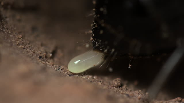 close-up of a queen ant laying an egg - ant stock videos & royalty-free footage