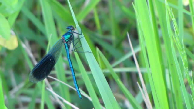 vídeos y material grabado en eventos de stock de primer plano de un poco de hierba hojas libélula azul - zoología
