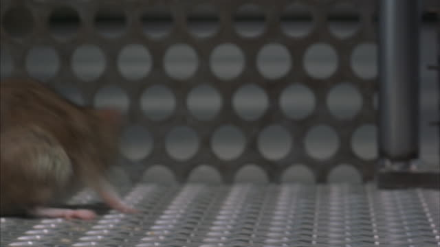vidéos et rushes de a close-up of a rat trapped in a laboratory. - captive animals