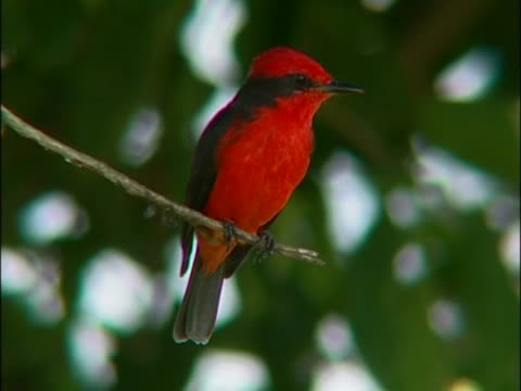 stockvideo's en b-roll-footage met close-up of a red warbler perching on a branch - zanger vogel