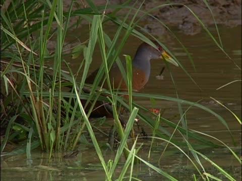 vídeos y material grabado en eventos de stock de close-up of a red-footed booby drinking water - alcatraz patirrojo