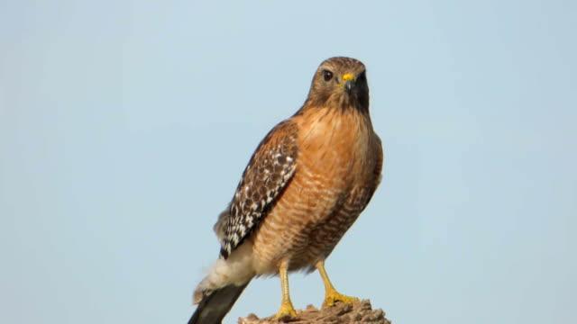 vídeos y material grabado en eventos de stock de primer plano de un halcón de hombros rojos - halcón