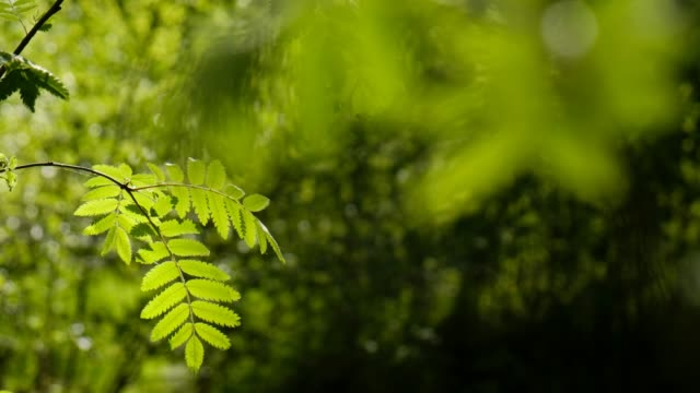 close-up of a rowan with a sunlit leaf in the spring - 硬木の木点の映像素材/bロール