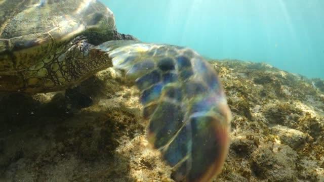 closeup of a sea turtle as it dines on seaweed - 海草点の映像素材/bロール