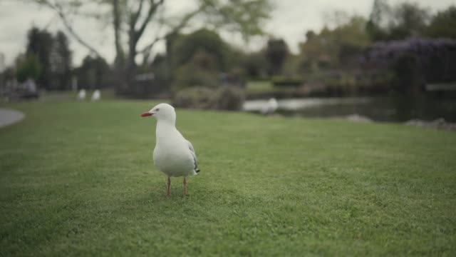 close-up of a seagull near a pond - seagull stock videos & royalty-free footage