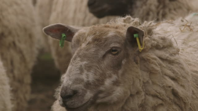 close-up of a sheep turning its head whilst huddling with others in wind, uk. - sheep stock videos & royalty-free footage