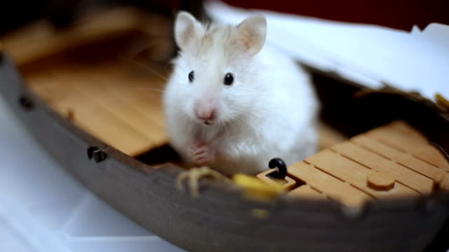 close-up of a small syrian hamster cleaning himself - hygiene stock-videos und b-roll-filmmaterial