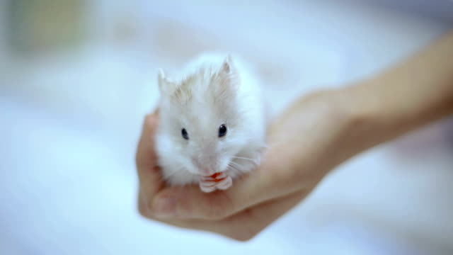 Close-up of a small white Syrian hamster eating on a child's hand