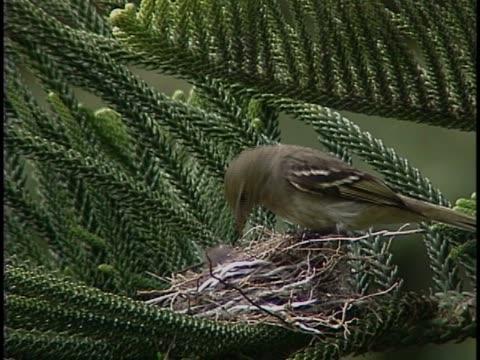 vidéos et rushes de close-up of a sparrow feeding its young in a nest - membre partie du corps