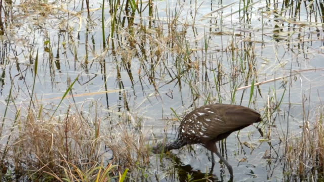 closeup of a speckled florida water bird, the limpkin, wading in shallow water looking for apple snails - water bird stock videos & royalty-free footage