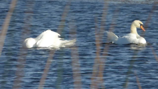 closeup of a swan bathing - mute swan stock videos & royalty-free footage